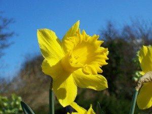 welsh-daffodil-300x225