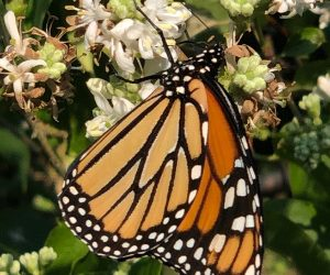 Lessons from a Monarch